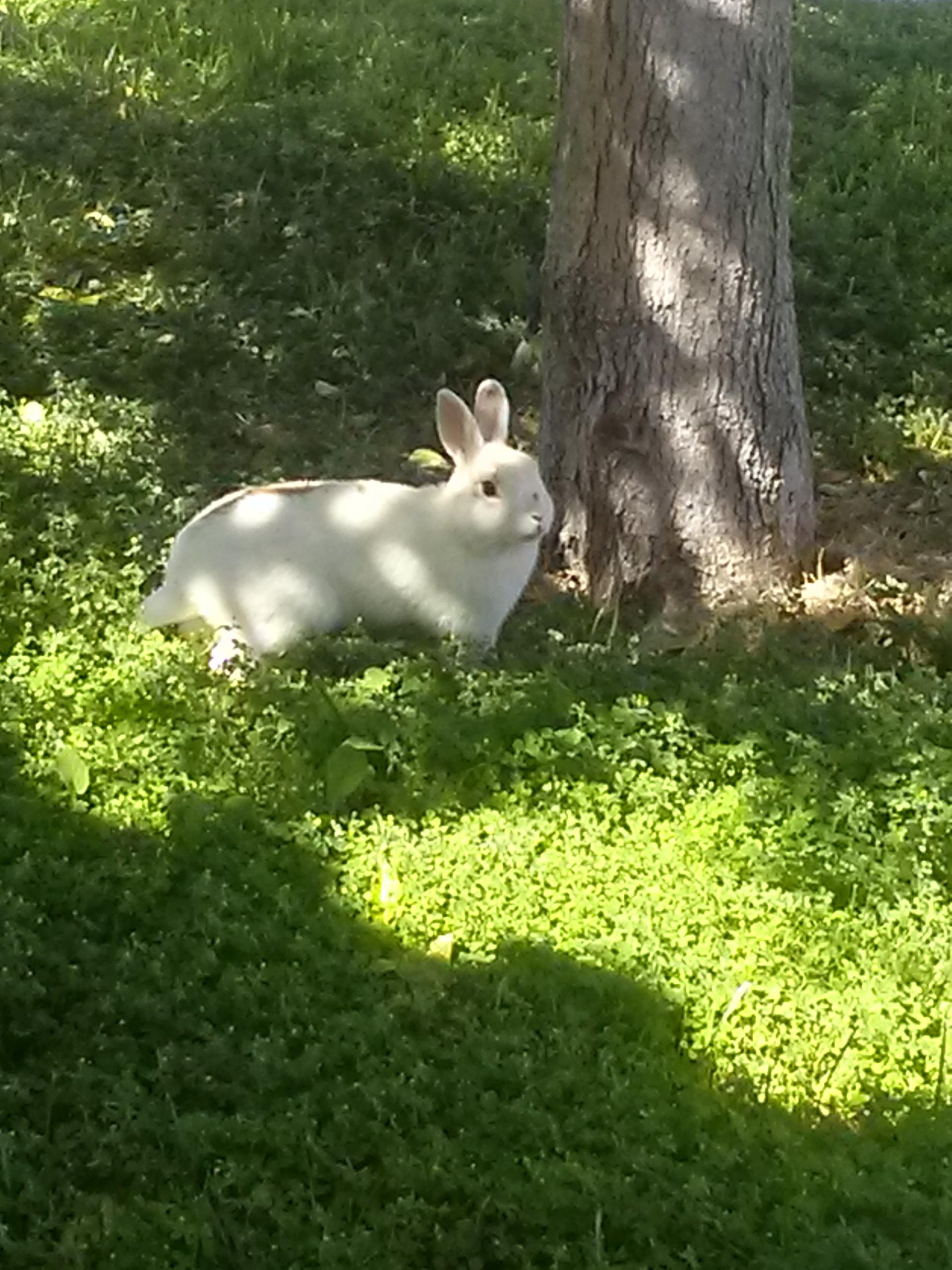 Vegas bunny